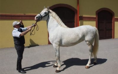 Ocjenjivanje kobila lipicanske pasmine privatnog uzgoja