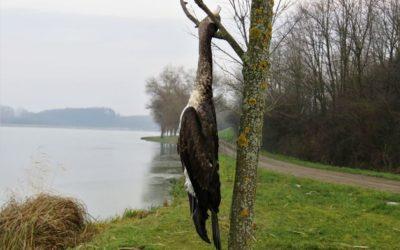 Veliki vranac obješen za drvo u Đakovu