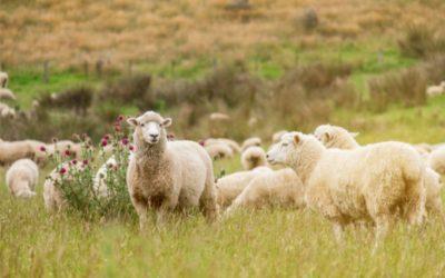 U Satnici Đakovačkoj ukrao janjce i ovcu