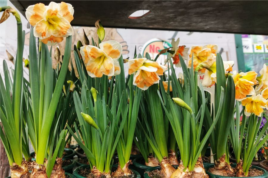 Narcis, foto: Moje_Đakovo